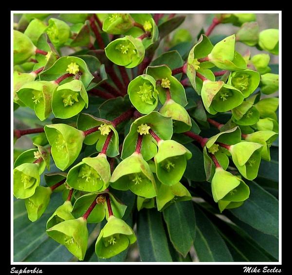 Euphorbia by oldgreyheron