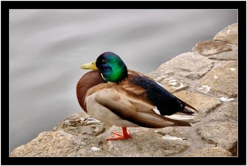 Yoga Duck by rohanps