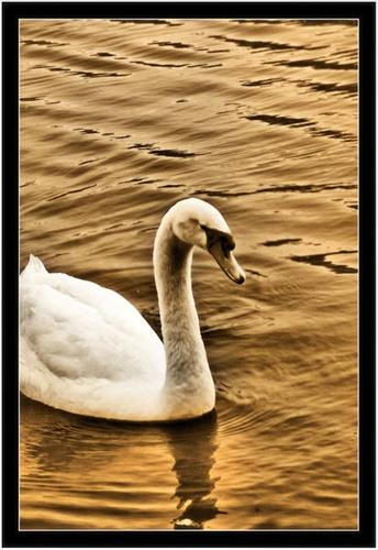 The Swan Lake by rohanps