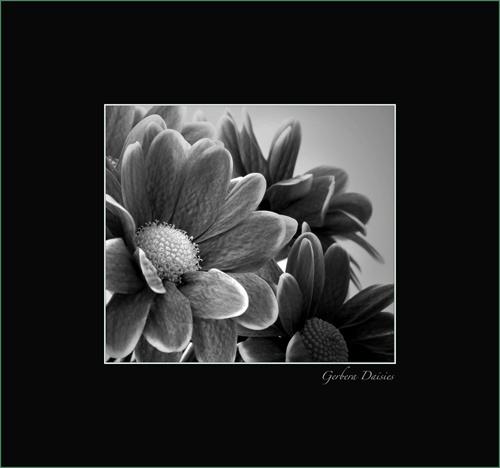 Gerbera Daisies by essien
