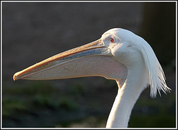 Pelican by ronr