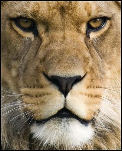 Lion by nikguyatt