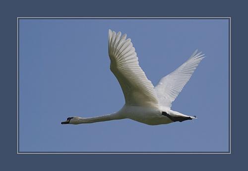 Swan Flight by sferguk