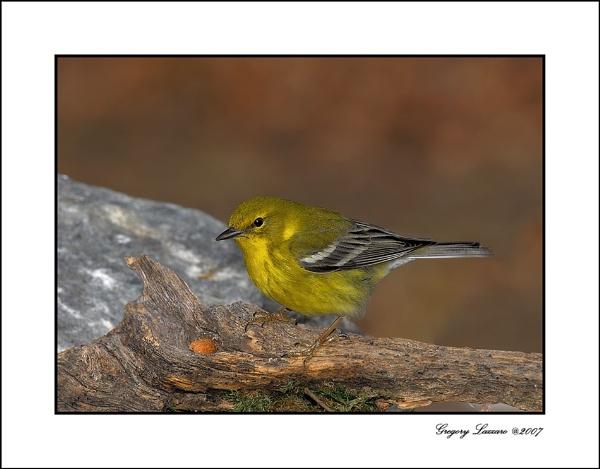 Yellow Warbler by glazzaro