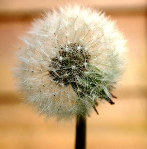 dandelion clock by rodp
