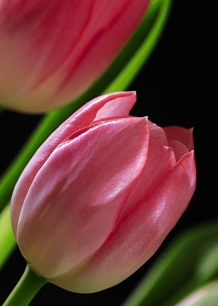 tulip II by amos_cmos