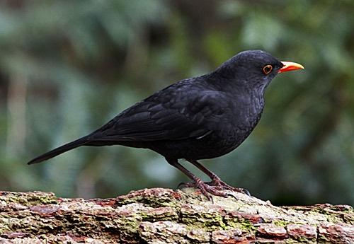 blackbird by dhough