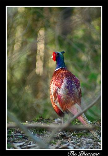 The Pheasant by alex102