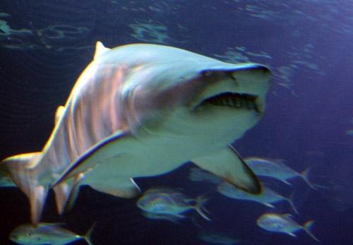 Sharky by Paddy_fox