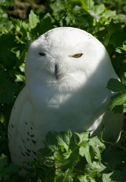 Harry\'s Owl by NeilJD