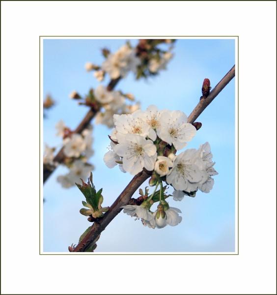 Apple Blossom Time by LisaRose