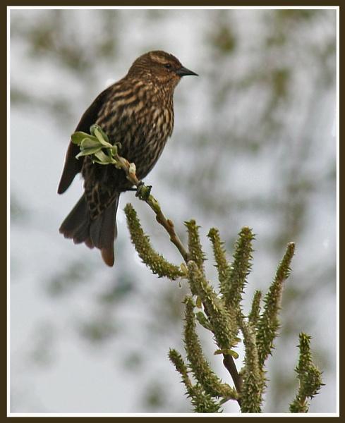 Female Red-Winged Blackbird by mommy2cutekids