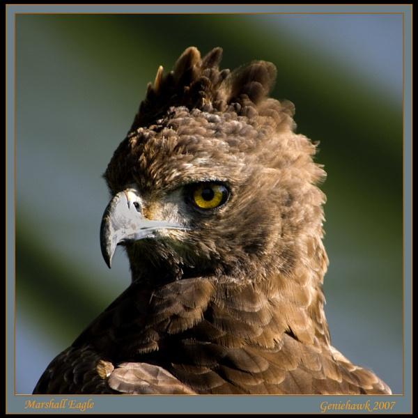 Marshall Eagle by geniehawk
