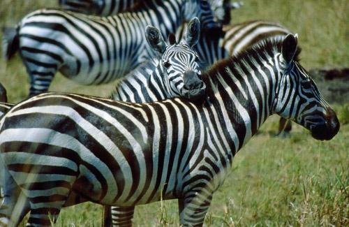 Zebra in Kenya by PDGILL