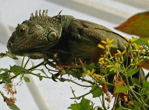 iguana by pammy