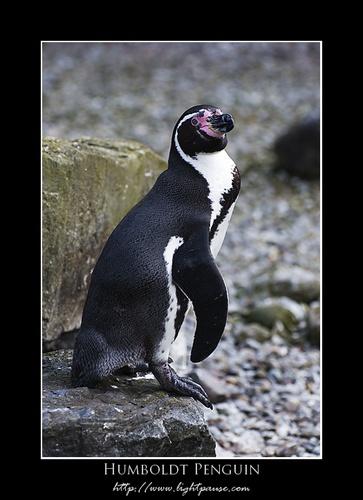 Humboldt Penguin by lightpause