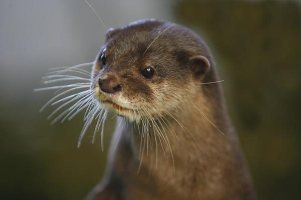Otter by teddy
