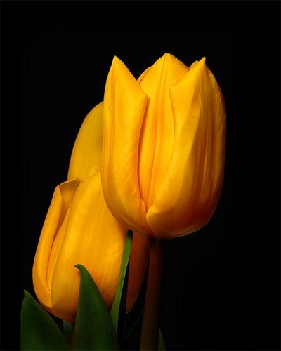 Yellow Tullips by gmontambault