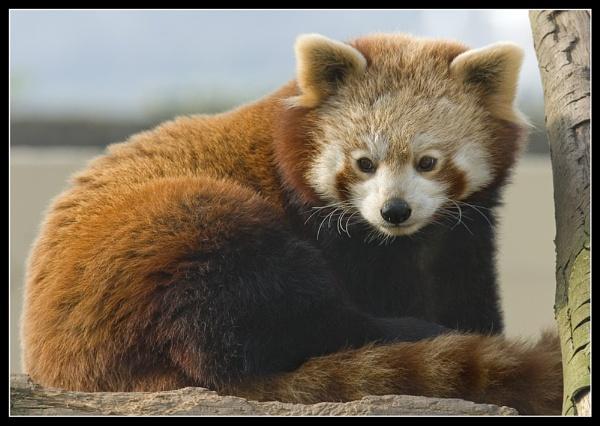 Red panda by Oy_bumbler
