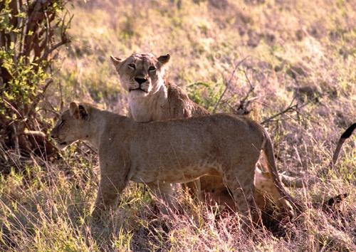 Masai Lions by PDGILL