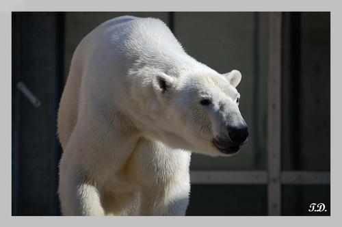 Polar Bear by imagegirl
