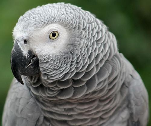 Grey Parrot by Bradfleet12