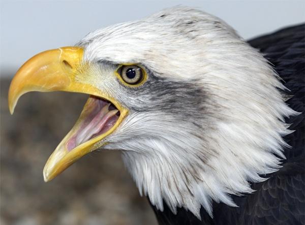 Alaska - Bald Eagle by ReidFJR
