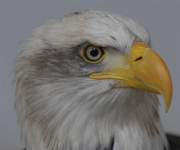 Eagle Eye by ReidFJR