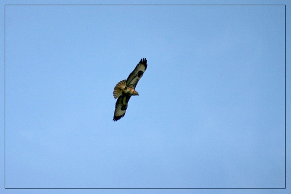 Buzzards over Paignton by angelamary