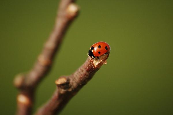 Ladybird by Paulo_G