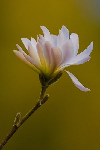 Magnoliscent 2 by colin b
