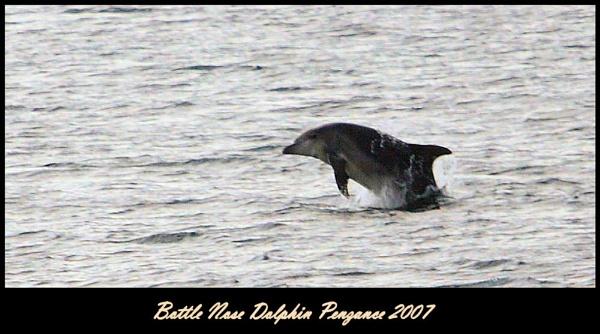 Bottlenose Dolphin by warbstowcross