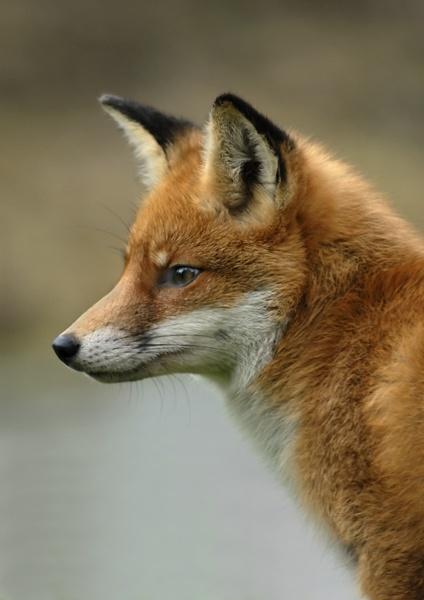 Foxy by JJ_A