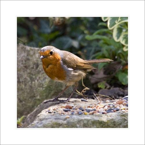 Robin by essien