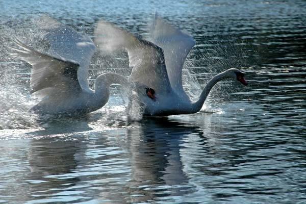 Swans by RosePhoto