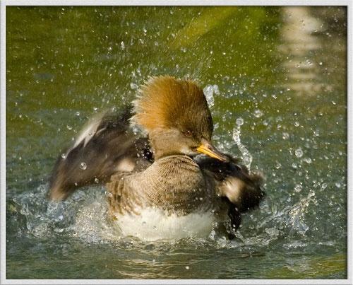 Splash by ala_fred