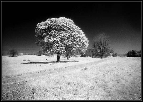 IR Tree, Castle Howard by jimthistle73