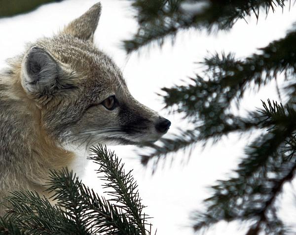 swift fox by sputnki