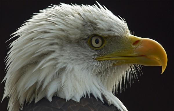 Danebury - HCT Bald Eagle by ReidFJR