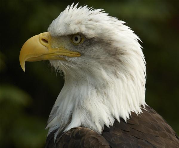 Cheyenne - Bald Eagle HCT by ReidFJR
