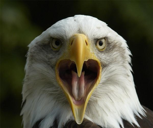 Cheyenne - Bald Eagle at HCT by ReidFJR