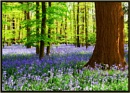 Cliveden Bluebells by Brownie127