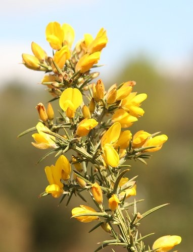 Gorse blossom by Sadle