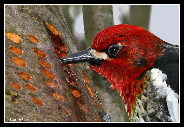 Sapsucker Up Close & Personal by alpha788
