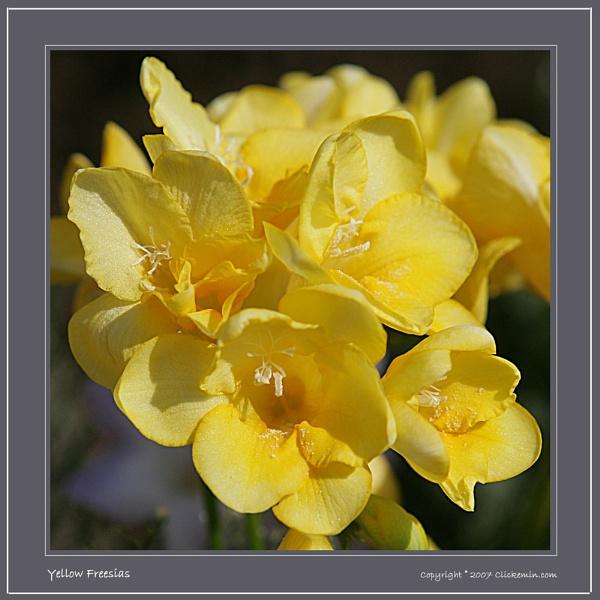 Yellow Freesias by Farne