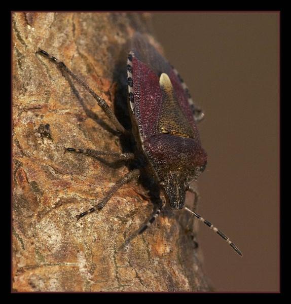 Sloe Bug by Paintman