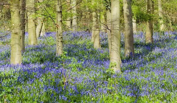 Bluebell Wood by Bulldog