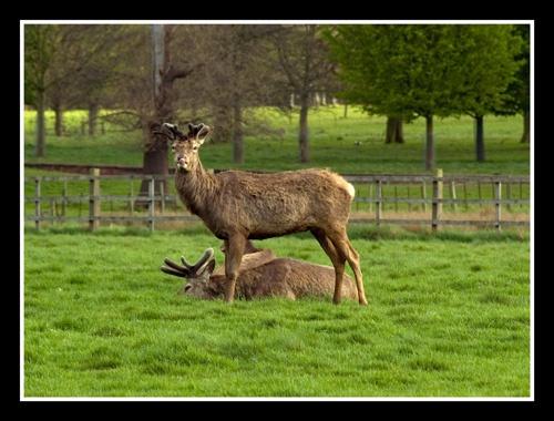 Deer at Wollaton Park by veggiesosage