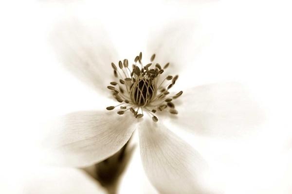 white anenome by mhpjw