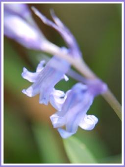 Bluebells by inferlogic